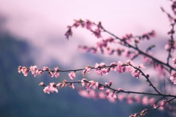 Photo of cherry blossoms on a branch with a blurred background