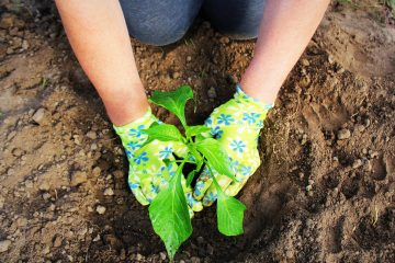Women's hands planted a young plant of pepper in the ground. Planting paprika seedlings.
