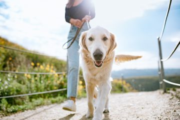 A Golden Retriever gets close up and personal with the camera while outdoors walking with his owner in a Los Angeles county park in California on a sunny day. Relaxation exercise and pet fun at its best.