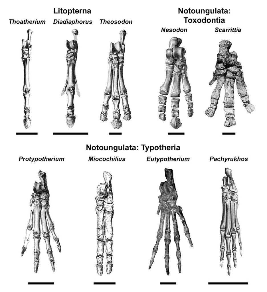 A comparison of the size of the metatarsal bones in several prehistoric mammals